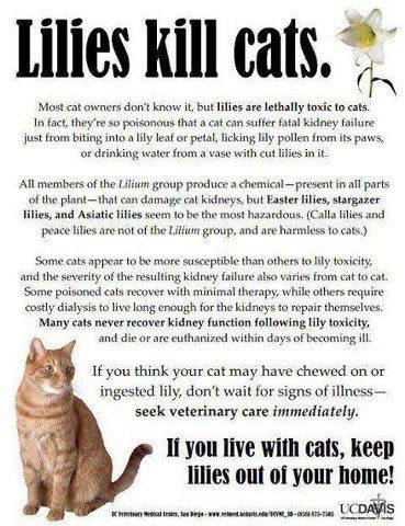 lilies kill cats