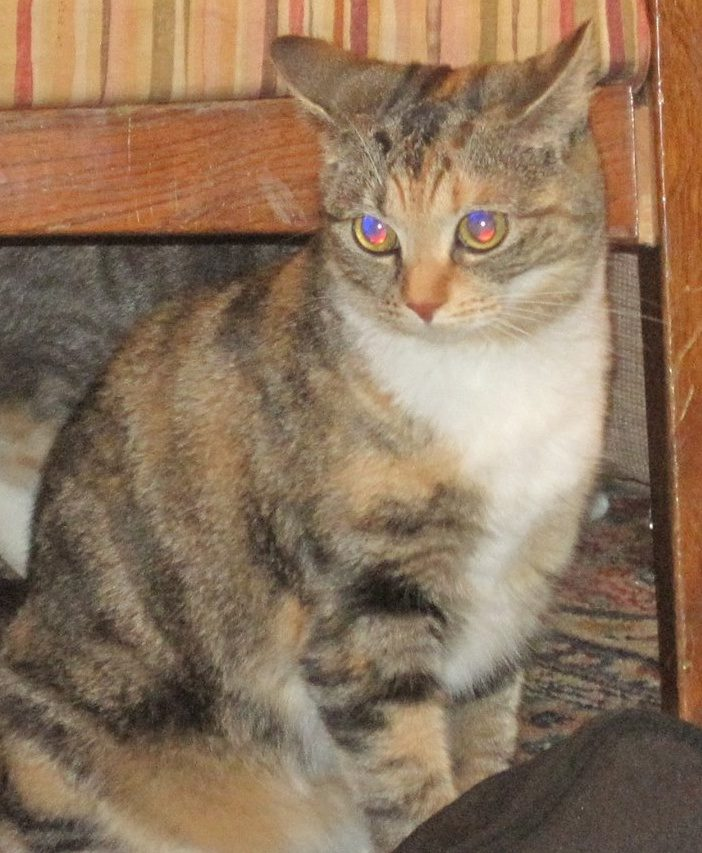 Lost calico/tabby cat,...