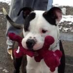 Kimbo - Staffordshire Terrier - 4-9-14_003